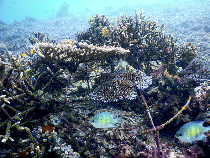 coral reef restoration project - image