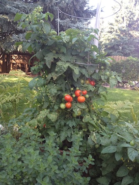 tomatoplant_smaller